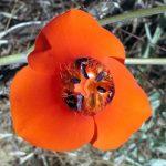 desert-mariposa-lily