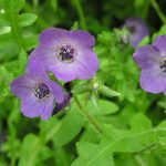 fiestaflower