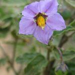 purpleniteshade