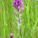 purpleowlsclover