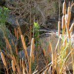 DVNP2 3-5-17 (3) - Darwin Falls - Cattails