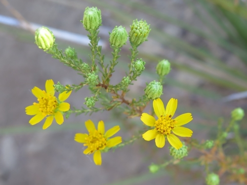 Fitch's Tarweed